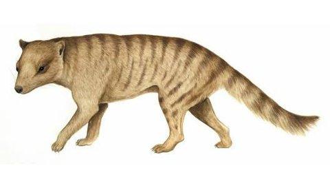 Domestic Thylacine