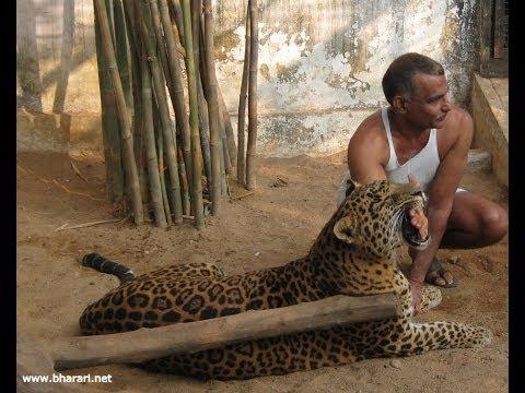 Domestic Leopard