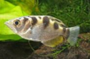 North American archerfish (SciiFii)