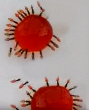 Vampire Ant.png