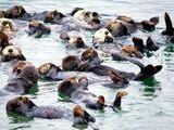 Atlantic Sea Otter
