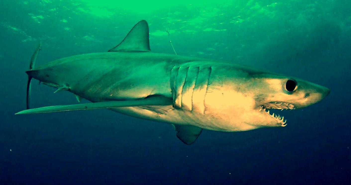American River Shark