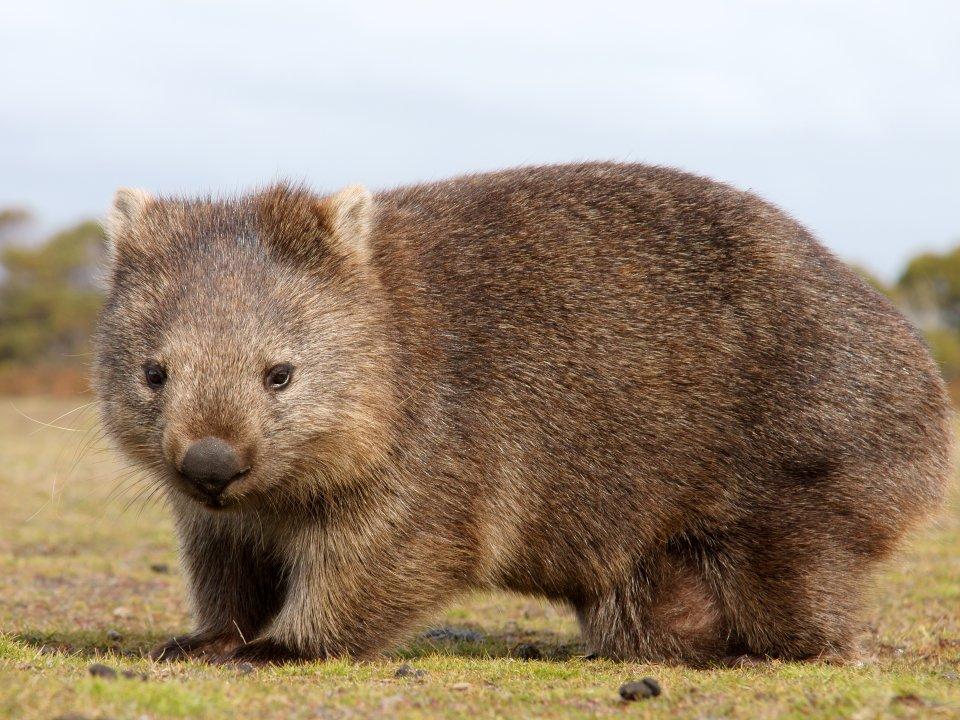 African Wombat