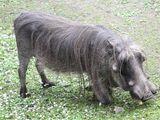 Domestic Warthog