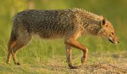 American golden jackal (SciiFii)