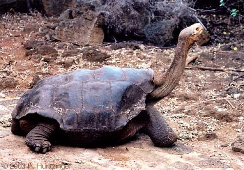 Pinta Island tortoise (SciiFii)