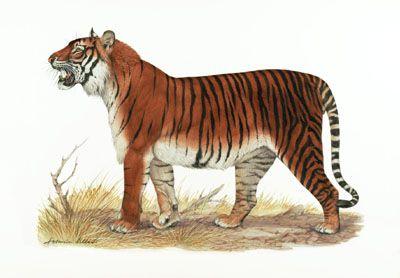Panthera tigris familiaris