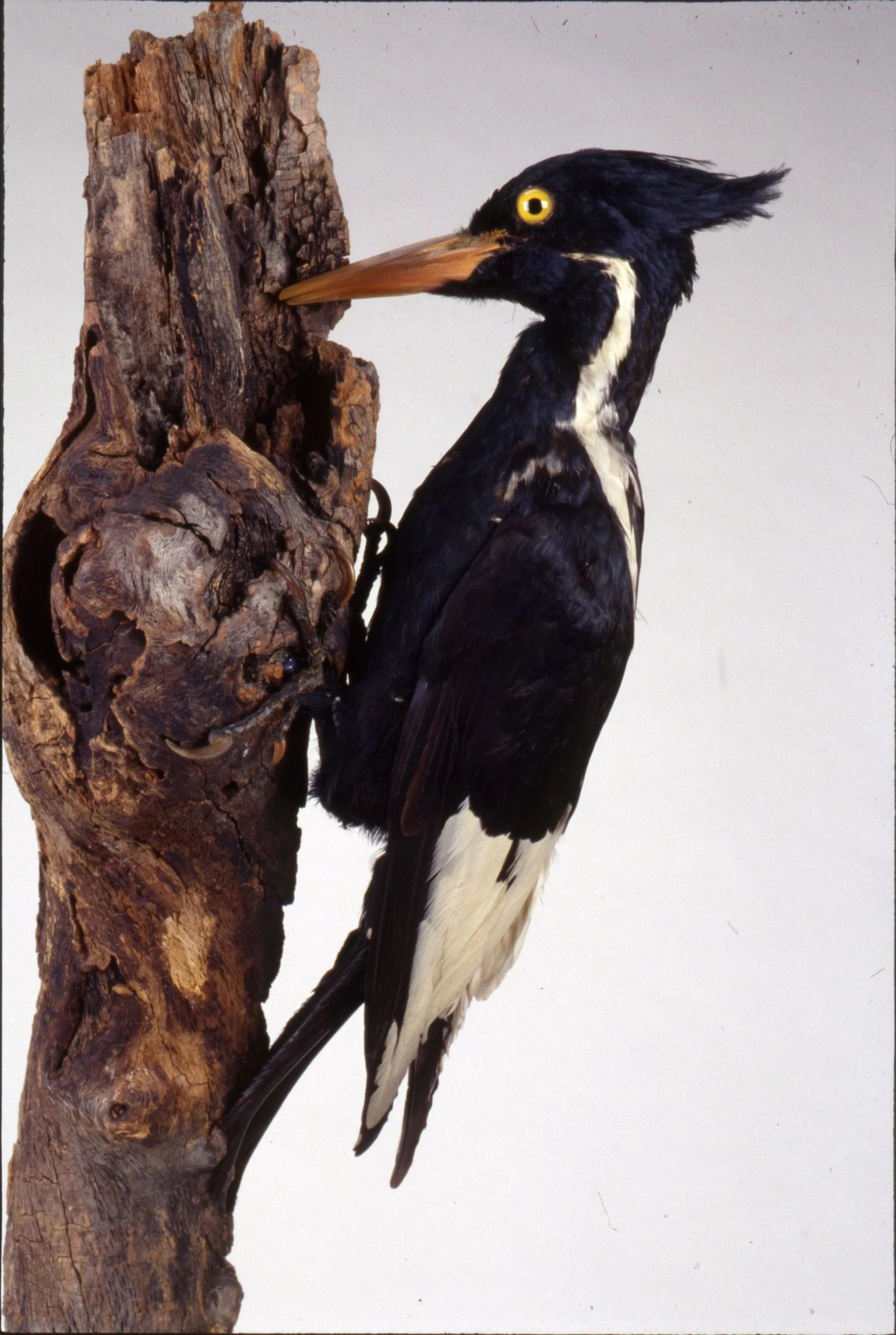 Iron-billed woodpecker
