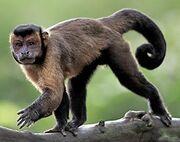 North American capuchin (SciiFii).jpg