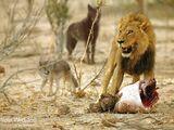 American Plains Lion