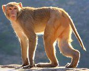 North American macaque (SciiFii).jpg
