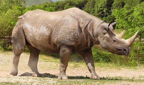 Merck's rhinoceros (SciiFii)