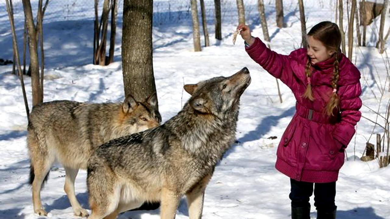 Domestic Gray Wolf