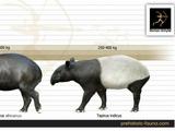 African Tapir