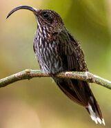 North American sicklebill (SciiFii)
