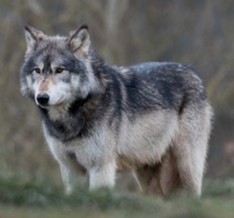 African gray wolf (SciiFii).png