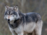 African gray wolf (SciiFii)