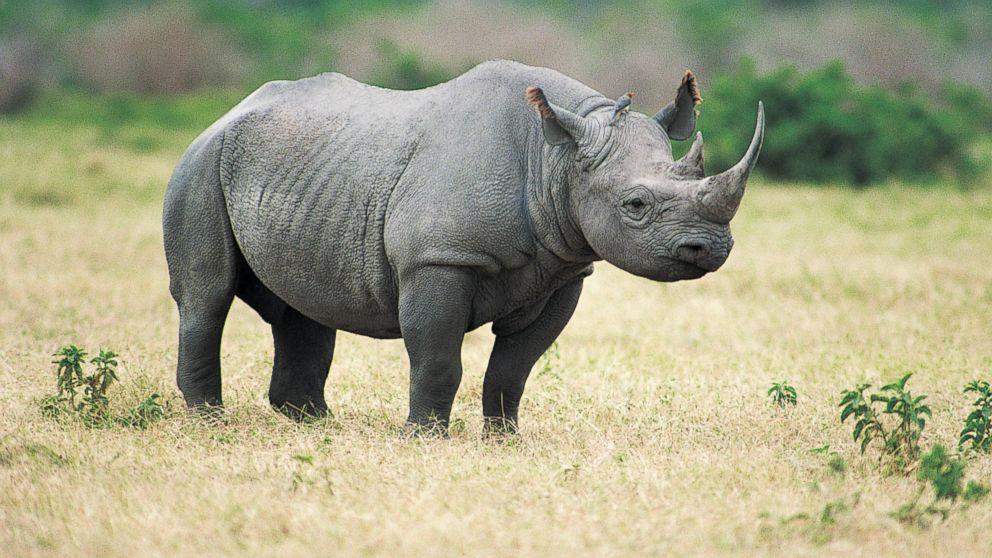 American Black Rhinoceros