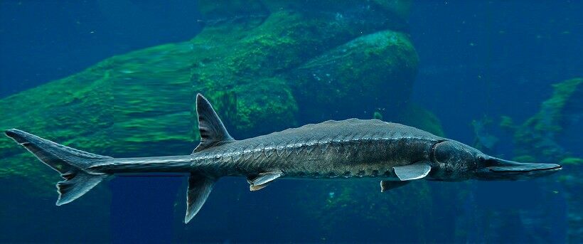 Alligator Sturgeon