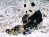 Canadian Giant Panda