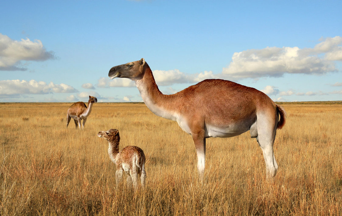 American False Camel