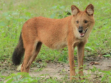 African dhole (SciiFii)