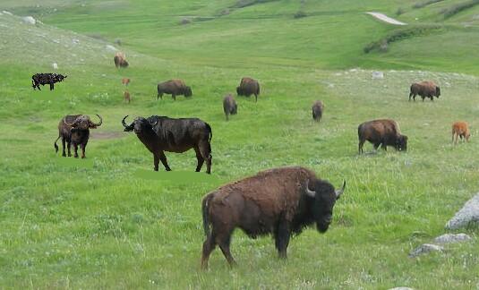 American Prairie Buffalo