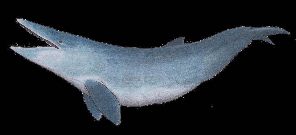 Aetiocetus (SciiFii)