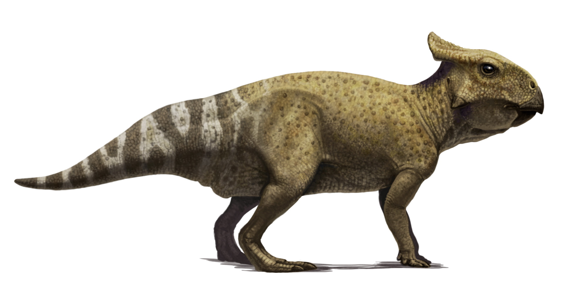 Protoceratops Mourii