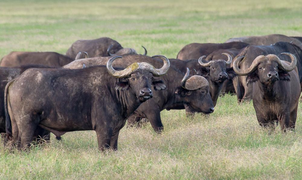 Domestic Savannah Buffalo