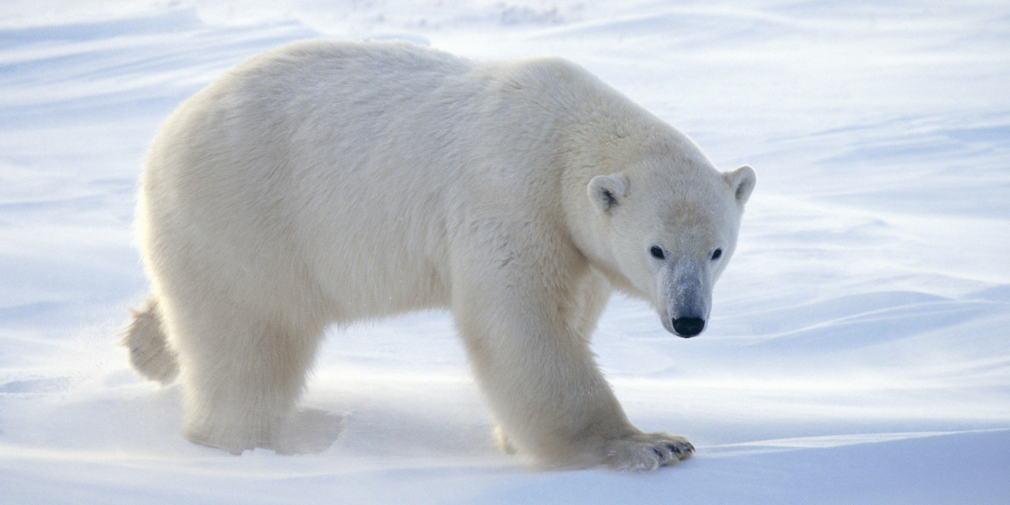 Antarctic Polar Bear