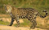 Algerian Jaguar