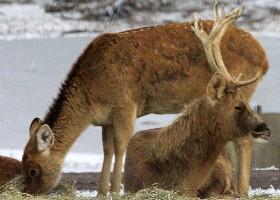 Domestic Mule Deer