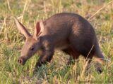 North American Aardvark