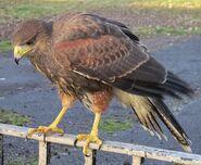 Northern hawk (SciiFii)