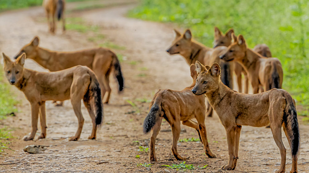 African Dhole