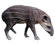 American Streaked Tapir