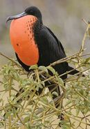 North American frigatebird (SciiFii)