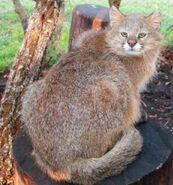 American mountain cat (SciiFii)