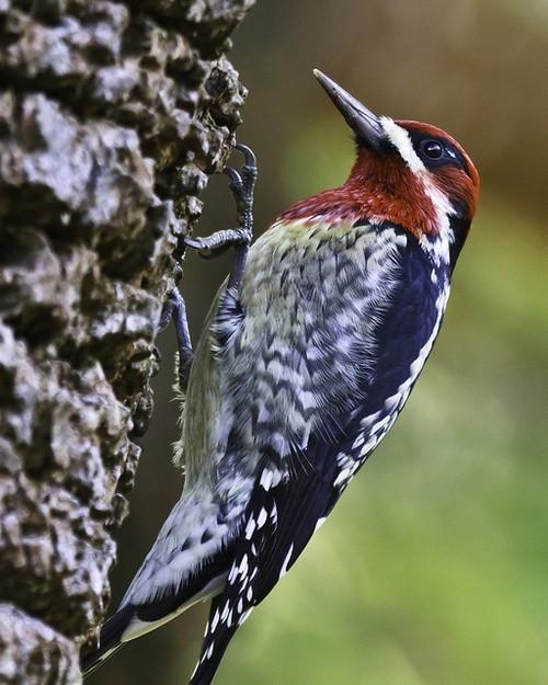 Scarlet-headed woodpecker