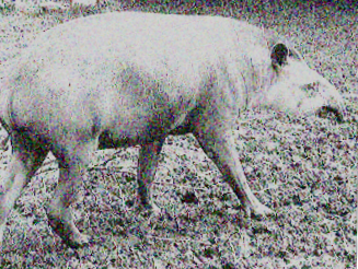 Argentine Tapir