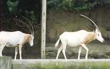 Domestic Sable Antelope