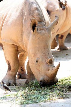 Domestic Rhinoceros