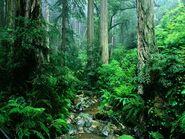 California Rainforest 1