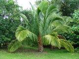 Drapieżna palma