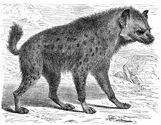 Hyena-Tezel.jpg