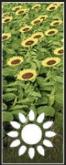 Sunflowers icon