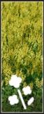 Canola icon1