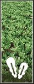 Oilseed Radish icon