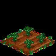 Poinsettia33